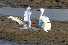 Snowy Egrets (sang chung) Tags: snowyegret bolsachica wildlife