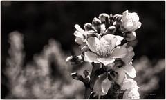 s/t (jjglez) Tags: año2019 bn enero flora monocromo tejeda