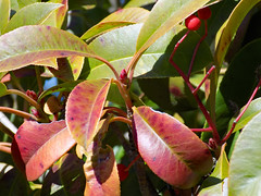 Red And Green Leaves. (dccradio) Tags: lumberton nc northcarolina robesoncounty outdoor outdoors outside february winter afternoon saturday saturdayafternoon goodafternoon nikon coolpix l340 bridgecamera nature natural tree trees branch branches treebranch treebranches treelimb treelimbs berry berries leaf leaves greenery foliage