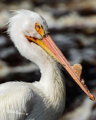 Pelican Portrait III (Images by Beaulin) Tags: lakeofthewoodscounty wildlife birds pelecanuserythrorhynchos waterbirds clementson americanwhitepelican rapidriver minnesota