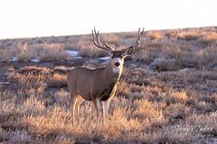 February 2, 2019 - A mule deer buck in Adams County. (Tony's Takes)