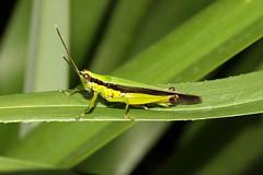 Oxya hyla intricata (Rice Grasshopper) - Singapore (Nick Dean1) Tags: animalia arthropoda arthropod hexapoda hexapod insect insecta orthoptera oxya grasshopper ricegrasshopper oxyahylaintricata singapore