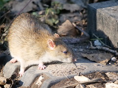P1001442 Rat (Photos-Tony Wright) Tags: animal rat wildlife langford lakes february 2019