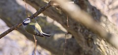 Bluetit (Shannon Wilde 9322) Tags: bluetit birdwatch birdlife birds birdphotography wildlife wildlifephotography nature naturephotographer sigma canon