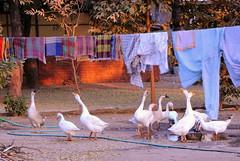 Geese and Laundry (mandalaybus) Tags: myanmar burma burmese laundry geese goose bird birds 5photosaday
