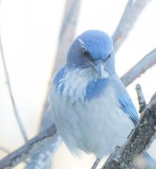 Noble Blue. (Omygodtom) Tags: bokeh existinglight bird scrubjay wildlife scene nature natural nikon nikon70300mmvrlens d7100 dof blue flickriver
