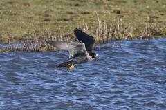 0M2A5902 Peregrine Falcon (kevin_livesey) Tags: peregrine falcon bird raptor birdwatching rspb marshside nature wildlife falco peregrinus