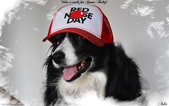 Wearing a smile for Red Nose Day (ASHA THE BORDER COLLiE) Tags: red nose day comic relief border collie dog cap smile ashathestarofcountydown connie kells county down photography