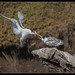 Great Crested Tern: Food Topup