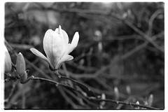 2019-03-23-0002 (ludob2011) Tags: pentax fa 135 film bw nb ishootfilm smc 14 50mm tmax xtol