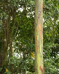 Costa Rica - Rainbow tree (Rez Mole) Tags: costa rica rainbow tree