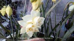 White Daffodil flower in trough on balcony floor (Up close) 30th March 2019 (D@viD_2.011) Tags: white daffodil flower trough balcony floor up close 30th march 2019