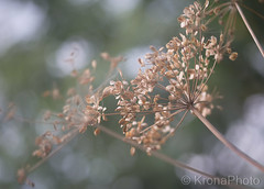 Faded beauty, Norway (KronaPhoto) Tags: sommer natur dof bokeh nature flowers faded old aged blomst macro makro forest