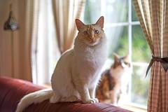 Two of a Kind (vtom61) Tags: cats cat bokeh sonya7r takumar 50mm supertakumar50mmf14 eightelement flamepointsiamese