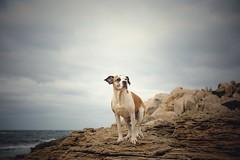 12/12 Edgar at the end of the year (Jutta Bauer) Tags: sardinia travel rocks sky pitbullmix boxermix dog excellentedgar edgar 12monthsforedgar 12monthsfordogs
