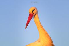 DelPréstamo - 2019   -   1-8 (Del_Préstamo) Tags: naturaleza cigüeñas aves reservanatural