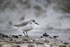 Achtung Welle! (ewiggestrig) Tags: sanderling ostsee balticsea dars prerow calidrisalba deutschland germany