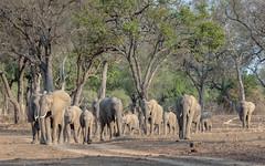On the way to the river (tickspics ) Tags: southluangwa zambia africanelephant africa bushelephant elephantidae iucnredlistvulnerable loxodontaafricana luangwavalley mammalia proboscidea savannaelephant southluangwanationalpark
