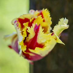 Parrot Tulip with Tree Trunk (ScarletBlack) Tags: tulip tulips flower macro
