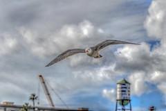 Soaring Above San Pedro (Michael F. Nyiri) Tags: sanpedro seagull clouds sky california southerncalifornia harbor losangelesharbor
