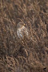 Twite (Matt Hazleton) Tags: bird wildlife nature animal outdoor canon canoneos7dmk2 canon100400mm eos 7dmk2 100400mm matthazleton matthazphoto twite thornham norfolk linariaflavirostris