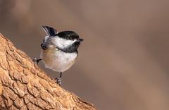 Chickadee (Lynn Tweedie) Tags: wood beak tail wing canon ngc animal 7dmarkii missouri bird chickadee eos sigma150600mmf563dgoshsm eye feathers tree branch