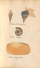 n56_w1150 (BioDivLibrary) Tags: greatbritain mollusks museumsvictoria bhl:page=57640227 dc:identifier=httpsbiodiversitylibraryorgpage57640227 conchologicaldictionary conchology shells britishisles britishislands williamturton british