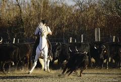 _DSC0641 (chris30300) Tags: camargue cheval