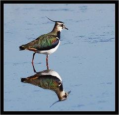 LAPWING (PHOTOGRAPHY STARTS WITH P.H.) Tags: lodmore reserve weymouth dorset lapwing nikon d500 500mm afs vr gitzo mk5