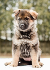 2019-03-02, Mel x Dezi Red Female-5 (Falon167) Tags: gsd germanshepherddog german shepherd dog puppy mel dezi melxdezi litter bessie puppies