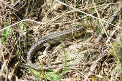 Sand Lizard (Lacerta agilis) (Sky and Yak) Tags: sandlizard sand lizard lacerta agilis herpetology reptile reptilesandamphibians dorset nature naturalworld uk europe uklizards coast basking bask south
