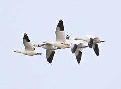 F_032019i (Eric C. Reuter) Tags: birds birding nature wildlife nj forsythe refuge nwr oceanville brigantine march 2019 032019