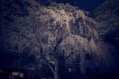 ji Temple Sakura blossoms 08 (HAMACHI!) Tags: tokyo 2019 japan ricoh ricohimaging ricohgr ricohgriii ricohgr3 gr3 griii gr weepingcherry 常圓寺 joenjitemple sakura cherryblossoms cherryblossom cherry night nightscene nightscape nightview lightup flower