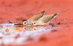Desert Diamond Doves (Gaz Meredith Images) Tags: diamond dove doves great sandy desert westernaustralia bird photography nature australia