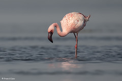 # Lesser Flamingo................in Breeding Plumage !! (Dr Prem K Dev) Tags: lesser lovely lake flamingo feathers breeding bg bokeh bird blue pink pulicat plumage wonderful wings wild water nature india pose colourful composition
