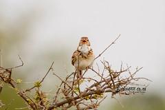 Monotonous Lark, Satara, Kruger National Park, Jan 2019 (roelofvdb) Tags: 2019 493 date january knp lark larkmonotonous monotonouslark place satara southernafricanbirds year