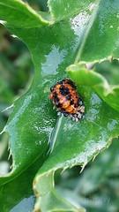 Harlequin ladybird pupae, Harmonia axyridis (2) (Geckoo76) Tags: insect beetle ladybird ladybug harlequinladybirdpupae harmoniaaxyridis