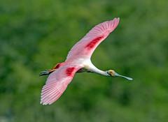 Roseate Spoonbill (Ed Sivon) Tags: america canon nature wildlife wild western flickr bird texas