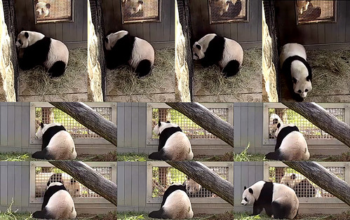 Tian (Sniff. What do I smell? Mei? You eating treats?) Mei (Let's meet at the other howdy window.) Tian thinking (I'll cajole some treats first.) Mei (I've been waiting. What took so long? No comment? Well your time's up.) 2019-04-08 @ 8.24.55–.32.21AM