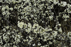 Sand Plum Blooms (J K German) Tags: flowers oklahoma plant sandhills sandplums nature blooms bush thicket wild white flowering