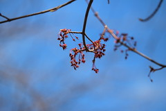 Red Maple (dankeck) Tags: acerrubrum bloom bud red spring theohiostateuniversity ohiostate osu ohio columbus centralohio franklincounty