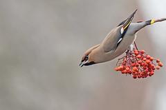 Waxwing (drbut) Tags: waxwing bombycillagarrulus vagrant sky trees rowanberries bird birds wildlife nature canonef300f4lisusm