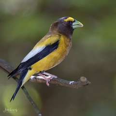 Evening Grosbeak (jklewis4) Tags: eveninggrosbeak grayling michigan nature bird birds hartwickpinesstatepark male
