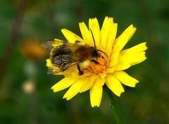 Nektar sammeln (dorisgoebel) Tags: blüte blossom gelb yellow blume flower