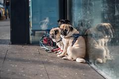 Pugs (19.01.2019) (Siebbi) Tags: hund hunde mops möpse pug pugs dog dogs tier animal