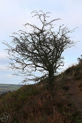 Bush on the Moor (AJ - Andrew Jones) Tags: ilkley uk england yorkshire countryside outdoor outside country rural hill moor tree path mountain