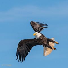 AIR BRAKES! TURN RIGHT! (Wade.J.) Tags: eagle american bald flight stop turn sky blue winter focused target talons wings nikon