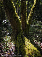 Peace (Panorama Paul) Tags: paulbruinsphotography wwwpaulbruinscoza southafrica southerncape gardenroute knysnaforest indigenousforests moss nikond850 nikkorlenses nikfilters