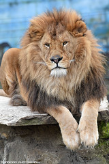 African lion - Olmense Zoo (Mandenno photography) Tags: animal animals dierenpark dierentuin dieren olmense olmensezoo olmen bigcat big cat cats zoo belgie belgium nature natgeo natgeographic lion lions leeuw leeuwen