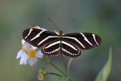 Zebra Longwing (Heliconius charithonia) (Douglas Heusser Photography) Tags: zebra longwing butterfly heliconian heliconias insect arthropod wings symmetry nature wildlife florida everglades heliconius charithonia heusser canon macro photo photography pollinator pollination